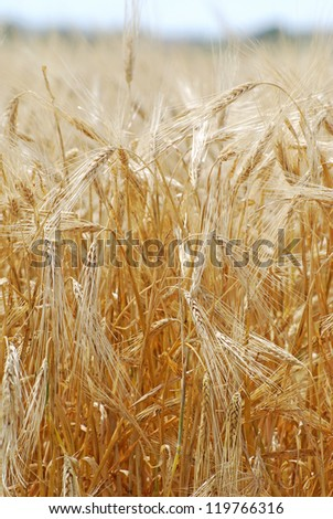 Barley grain growing in a field ready to harvest.