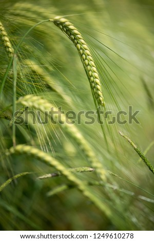 Barley grain is used for flour, barley bread, barley beer, some whiskeys, some vodkas, and animal fodder. Vertical orientation #1249610278