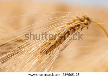 Barley grain is used for flour, barley bread, barley beer, some whiskeys, some vodkas, and animal fodder.
