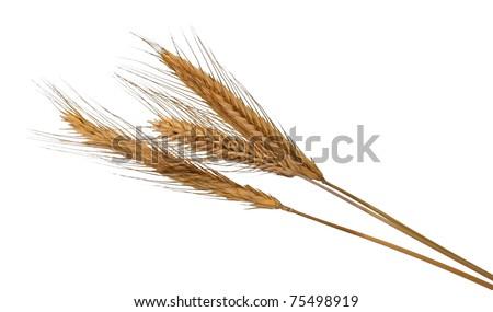 Barley or wheat  golden ears