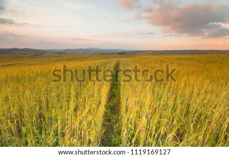 barley rice field in sunset #1119169127