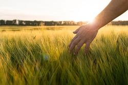 Barley sprouts in a farmer's hand.Farmer Walking Through Field Checking barley Crop.