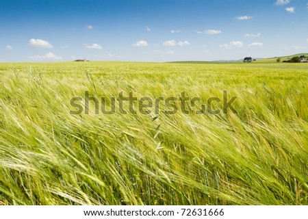 Barley swaying in the wind