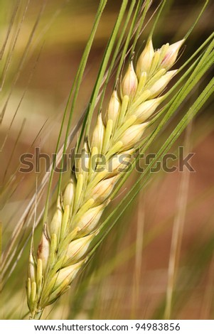Barley - wheat.
