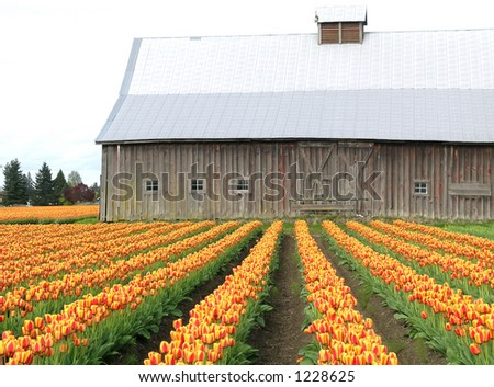Barn and Tulips