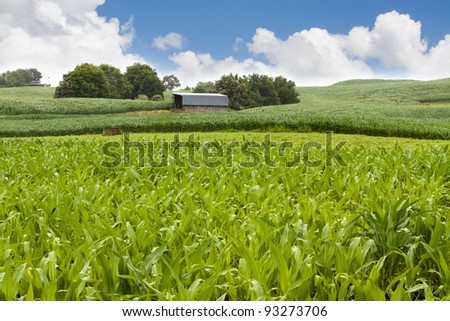 Barn in farm corn field