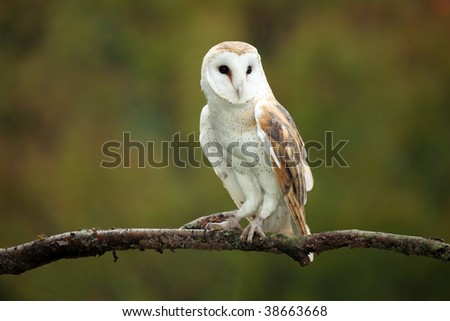 Barn Owl against a blurred background.