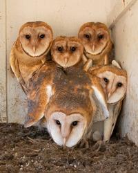 Barn Owl Babies in Nesting Box