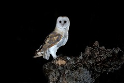 Barn owl female in his hunting innkeeper early in the evening