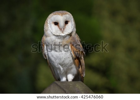 Barn owl full length portrait perched on a gravestone with natural background