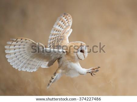 Barn owl in flight before attack, clean background, Czech Republic