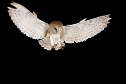 Barn Owl, in flight hunting, black background, Tyto alba