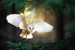 Barn Owl in flight.  Wildlife scene from wild forest. Flying bird tyto alba.