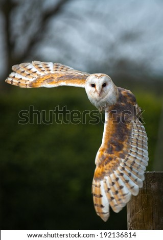 Barn owl in the country side flying