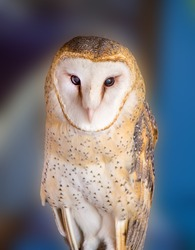 Barn Owl in Tucson Arizona