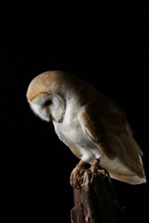 barn owl - isolated