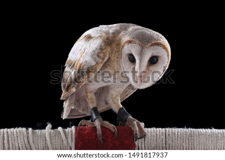 Barn Owl Perch perch Isolated Black Background