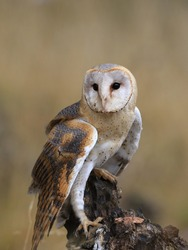 Barn Owl perched on a stump (Tyto alba) . Western barn owl in the nature habitat.