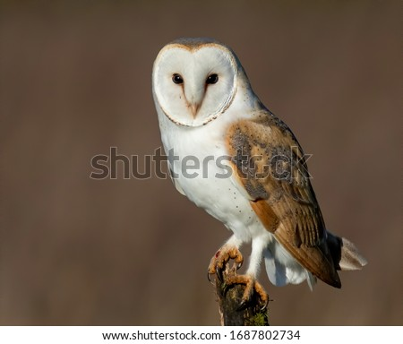 Barn Owl perched on post Photo stock ©