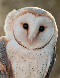 Barn-owl portrait