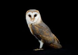 Barn owl studio portrait (Tyto Alba)