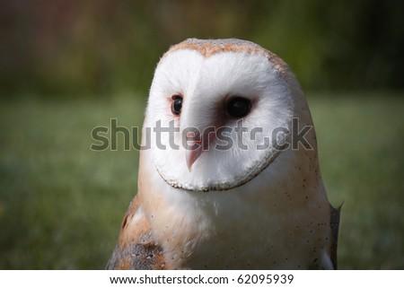 Barn Owl (tyto alba) inside a biological park