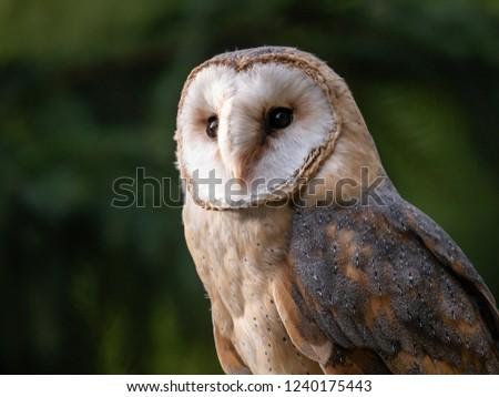 Barn owl (Tyto alba) portrait. Forest in background. Barn owl portrait. Owl portrait. Owl closeup photo.