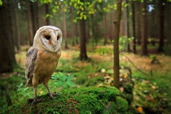 Barn owl, Tyto alba, sitting on the green mosse stone in forest at the evening - photo with wide lens including habitat. Wildlife scene in nature habitat. Bird with forest and grass meadow.