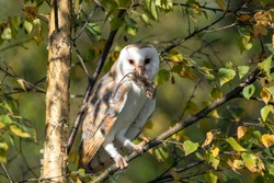 Barn owl (Tyto alba) with a mouse prey sitting on a branch in a tree. Noord Brabant in the Netherlands.