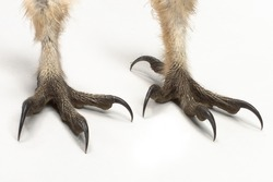 Barn Owl, Tyto guttata, Two claws on white