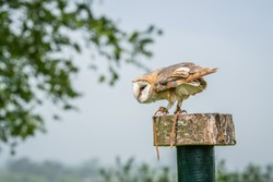 Barn Owl waiting on a stump during birds of prey show