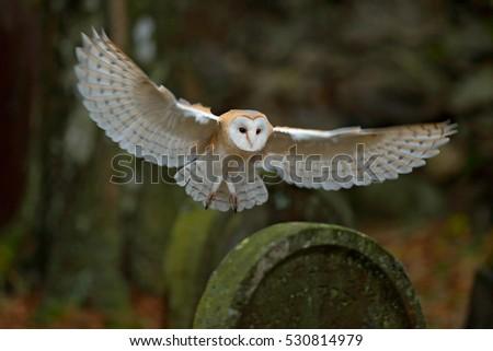 Barn owl with nice wings landing on headstone. Wildlife scene from old cemetery in dark wood.