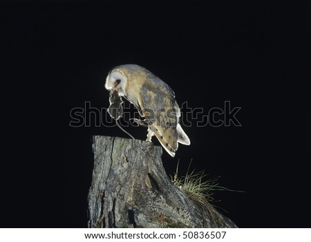 Barn owl with rat in beak