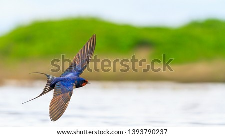 Barn Swallow flies over the water opened wings Foto stock ©