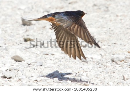 Barn swallow flying close to the ground in Horicon Marsh, Wisconsin.
