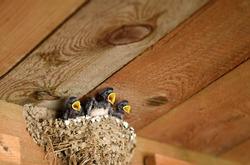 Barn Swallow (Hirundo rustica). Bird family at nest. Feeding small newborn birds inside barn. Europe, Czech republic.
