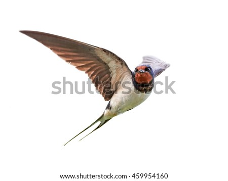 Barn swallow (Hirundo rustica) in flight isolated on a white background Foto stock ©