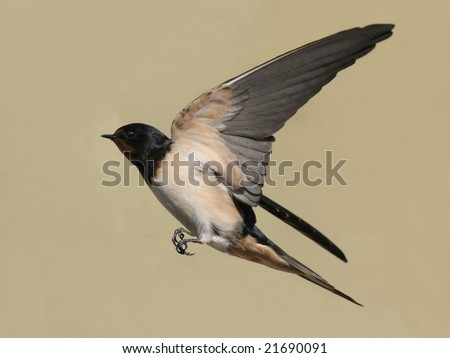 barn swallow in flight with outspread wings