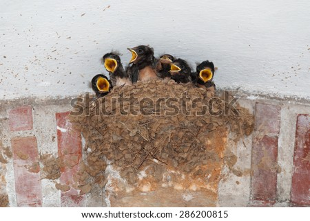 Barn swallow nest with six hungry nestlings