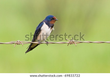 Barn swallow sitting on a barbwire with soft green background - stock photo