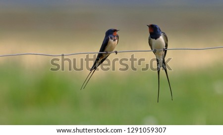 Photo of  Barn Swallows on a fence wire
