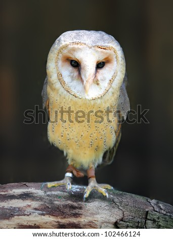 Barn - Tyto alba - owl posing on branch