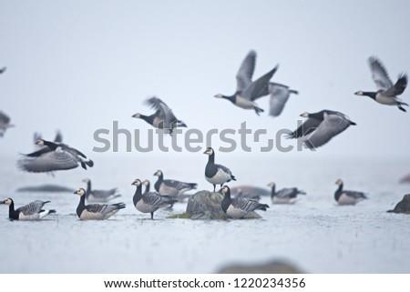 barnacle goose, branta leucopsis, Estonia