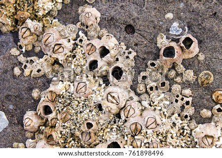 Barnacles and shells encrusted on the rocks by the sea - Shutterstock ID 761898496