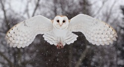 Barnowl in winter