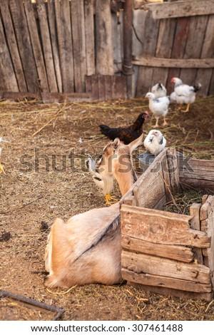 barnyard animals in a pen