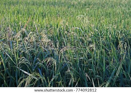 barnyard grass, a major weed in rice