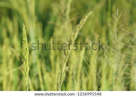 Barnyard grass, Cockspur, Echinochloa crusgalli, barnyard millet, water grass