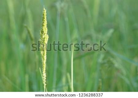 Barnyard grass, Cockspur, Echinochloa crusgalli, cockspur, barnyard millet, water grass