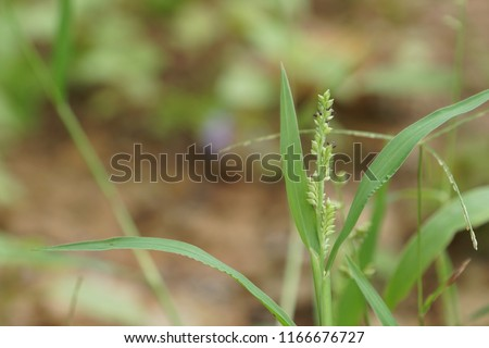 Barnyard grass or Echinochloa crusgalli, Cockspur, Echinochloa crus galli